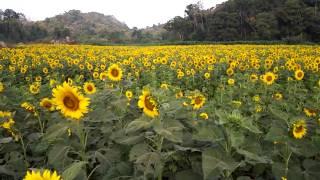 【最新】ロッブリー県のひまわり畑(Sunflower fields)の場所① in タイ
