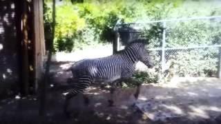 In Heat Zebra Mating