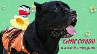 Собака Кане Корсо и лихой наездник. #canecorso #dogs #собаки