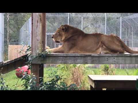 Devin Feeds Lions and Tigers at BCR