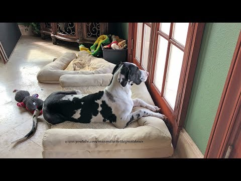 Funny Great Dane Puppy Watch Dog Watches From His Bed