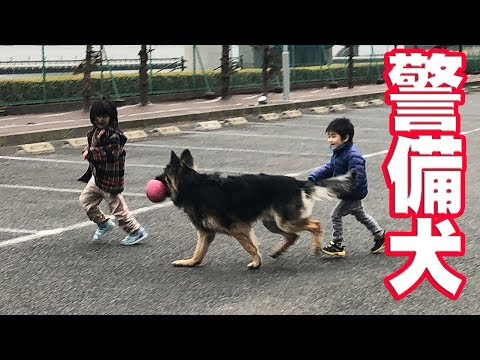 German Shepherd 大型警備犬シェパード犬と遊ぶ子供遠くへ行かせません