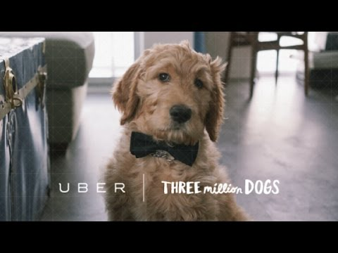 Does Uber's Service Animal Policy Violate Health Laws?