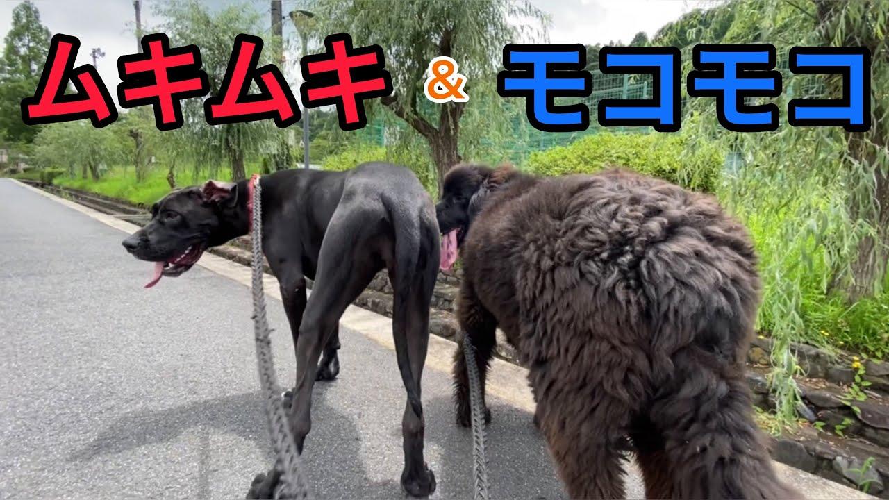 多頭飼い お散歩 ❣️ グレートデン ニューファンドランド newfoundland dog boss great dane dog Queen 渡辺ボス BOSS&Queen