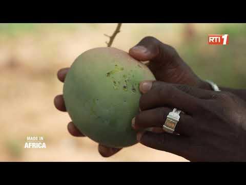 Reportage | Le parcours du cambattant de la mangue ivoirienne (Made In Africa)