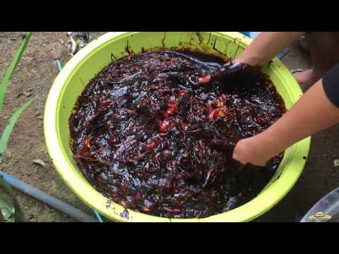 Making Homemade Bio-Fertilizer (Step By Step) Using FISH Parts | Pampataba Ng Tanim At Lupa.