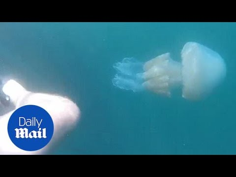 Jellyfish Invasion: Fears Sparked Mammoth Jellyfish Caught On Camera