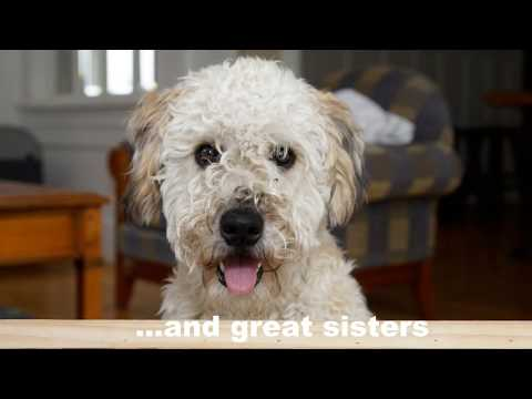 Why would you want to own a Wheaten Terrier???