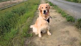 3歳になっても幼犬の頃の無邪気な走りです、興奮し易い性格は直らない...