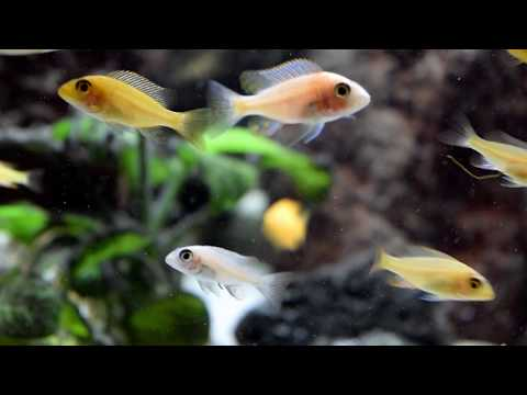 What I Have Learned From My Peacock Cichlid Growout Aquarium!