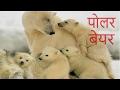 Polar Bear in hindi पोलर बेयर हिंदी में