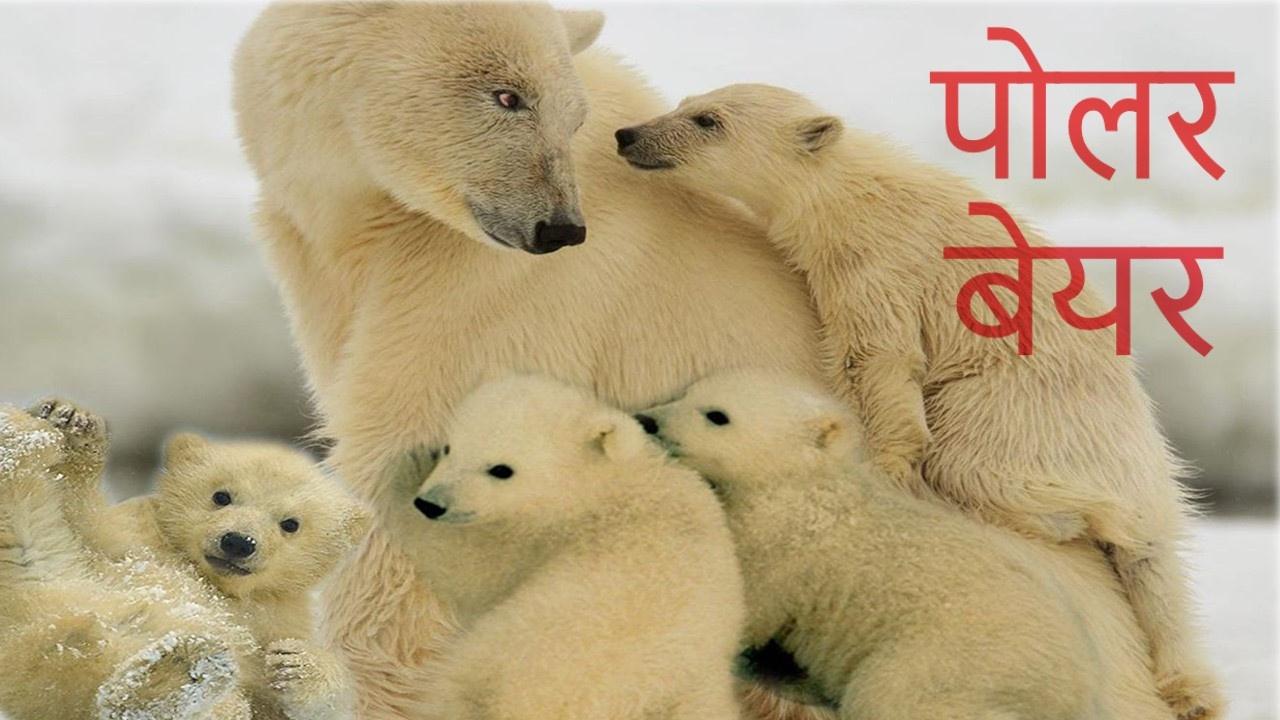 hindi bear
