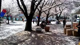 2018 제천청풍 벗꽃 축제