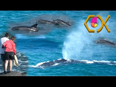 AMAZING DOLPHINS WELCOME NEWBORN SOUTHERN RIGHT WHALE CALF IN BALLITO BAY – 14TH OF AUGUST 2015