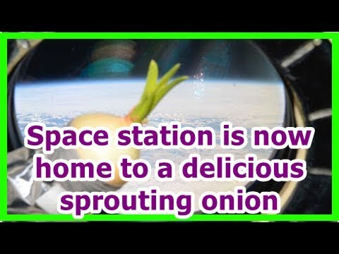 24h News - Space station is now home to a delicious sprouting onion