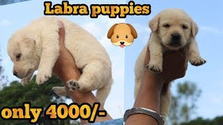 Labra puppy for sale