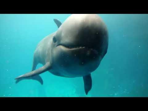 Facts: The False Killer Whale