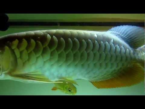 ปลามังกร เขียวเวียดนาม ผสม ทองอินโด