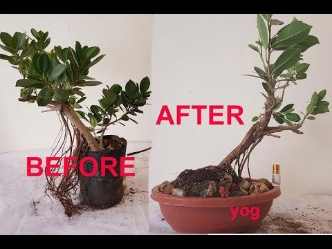 Make Good Looking Ficus Bonsai By Prunning Wiring Method 4k Youtube