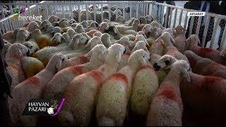 Hayvan Pazarı - 2 Adet akkaraman Irkı Koyun Fiyatı / Aksaray