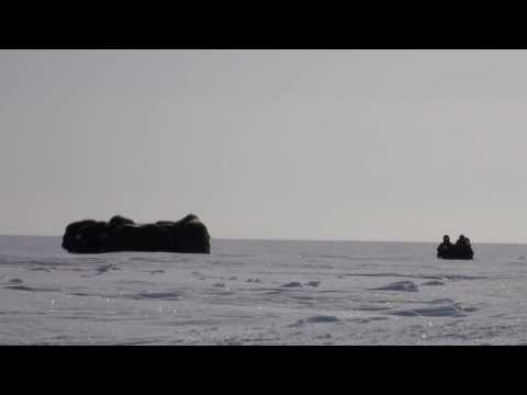 WCS Scientist Joel Berger Charged by Musk Ox | WCS