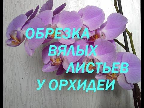 Орхидея камбрия: уход в -