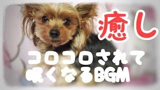 ちょんまげ犬ヨーキー https://www.youtube.com/channel/UCxHT55_krlDVG...
