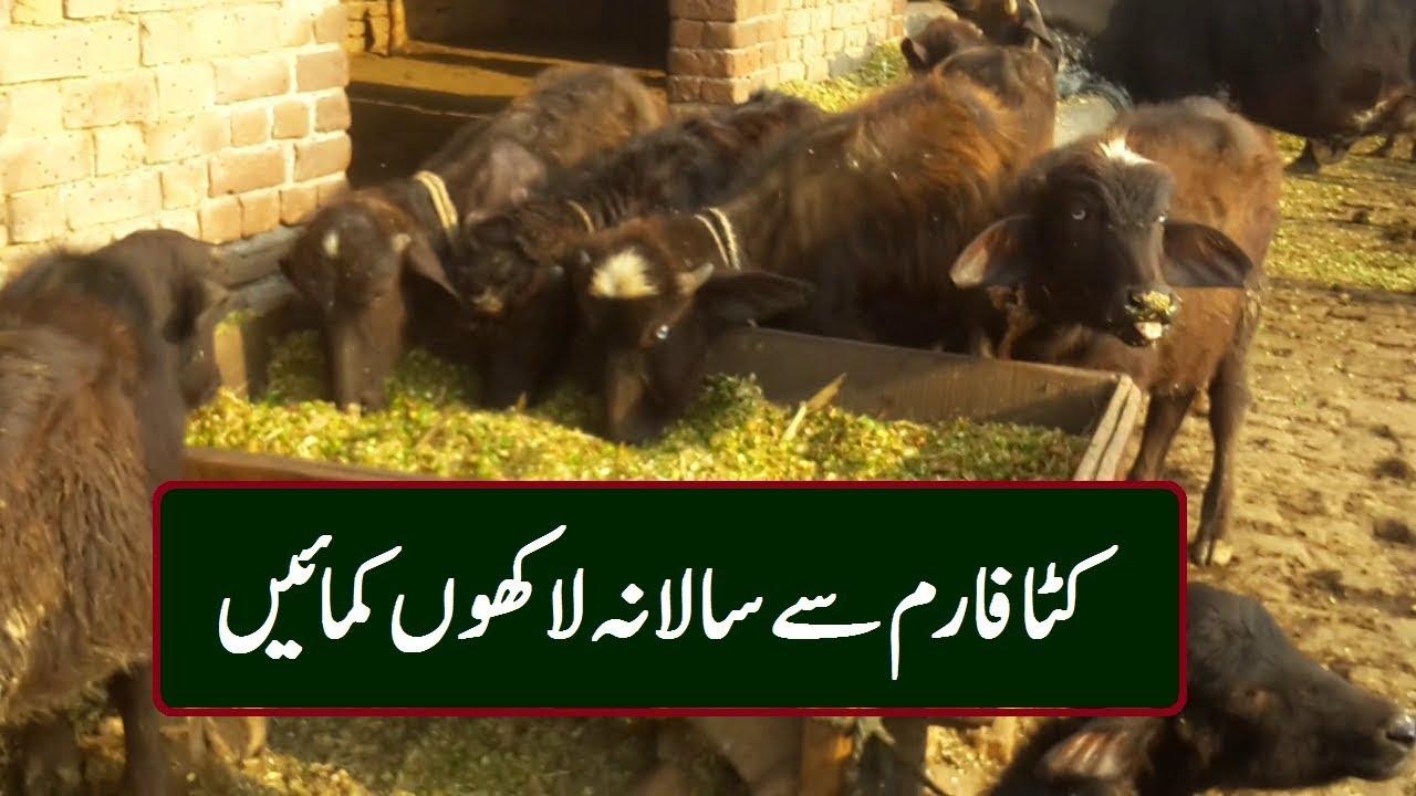 Calf Farming Profit How can be Calves Farming in Pakistan Easily Katta  Farming Business Ideas - Автоматическая торговля на Форекс
