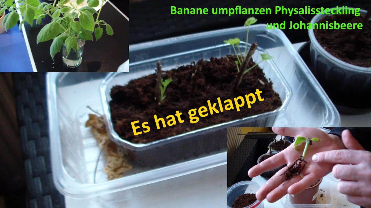 pflanzen anzucht update physalis banane umpflanzen. Black Bedroom Furniture Sets. Home Design Ideas