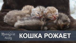 КОШКА НЕ МОЖЕТ РОДИТЬ - роды кошки, кошка рожает