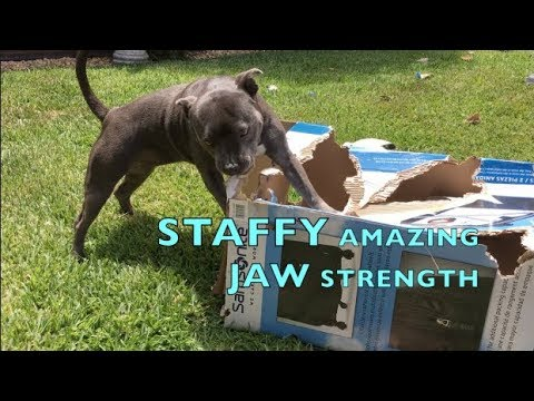 STAFFY DOG BREED HAS AMAZING JAW POWER