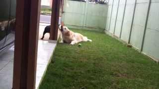 Golden Retriever X Rottweiler