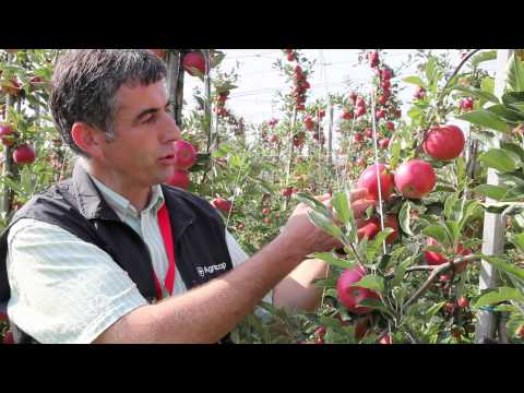 Milwa (Diwa®) - a new apple variety from Agroscope