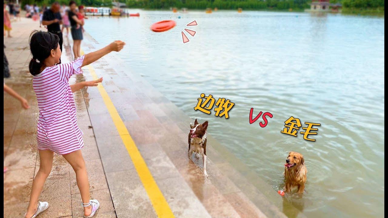 金毛和边牧谁游得更快?路人纷纷围观,这差距有点大啊!