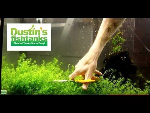 How to Trim Aquarium Plants: Trimming Baby Tears