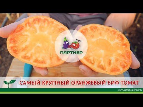 САМЫЙ КРУПНЫЙ ОРАНЖЕВЫЙ БИФ-ТОМАТ | урожайный | урожайная | агрофирма | помидоры | томатов | партнер | томаты | теплиц | семена | огород