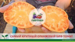 САМЫЙ КРУПНЫЙ ОРАНЖЕВЫЙ БИФ-ТОМАТ