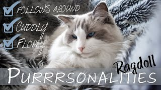 Owning a RAGDOLL cat | personality traits  breed explained | Ragdolls Pixie and Bluebell