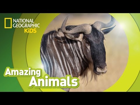 Wildebeest | AMAZING ANIMALS
