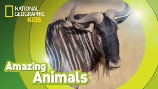 Wildebeest | AMAZING ANIMALS