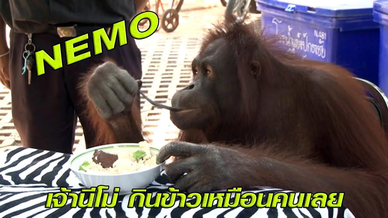 เจ้านีโม่ ลิงอุรังอุตัง กินข้าวท่าทางเหมือนคนเลย!!!!