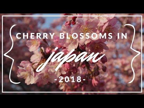 CHERRY BLOSSOMS IN MIURAKAIGAN, JAPAN  | 2018 Mp3