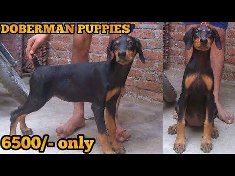 Doberman puppy for sale