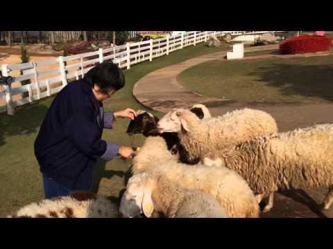 เที่ยวเหนือ57-4:ฟาร์มแกะฮักยู ลำปางหนาวมาก