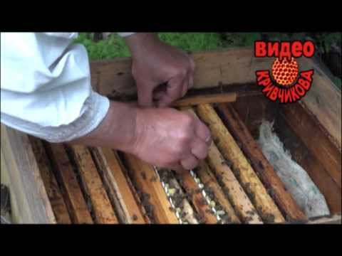 Пчеловодство кривчикова видео 14