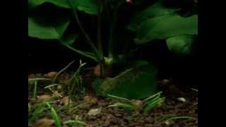 German Blue Rams (Mikrogeophagus ramirezi) pair breeding, spawning on Anubias nana!