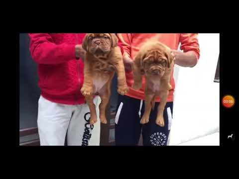 French Mastiff for sale 7056396541