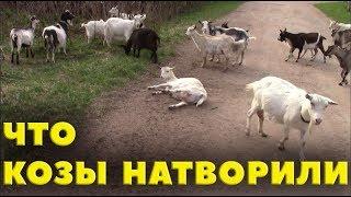 Что козы натворили