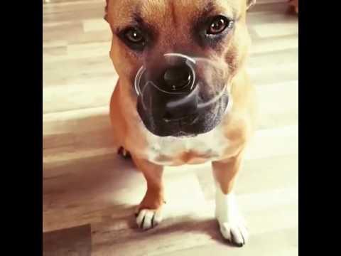 Породы собак Питбуль