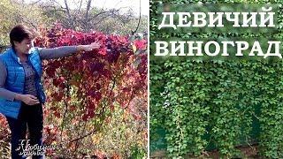 Девичий виноград  в саду и на даче  Виргинский виноград выращивание